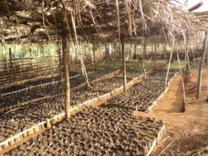 cameroon.camgew. Prunus africana tree nursery