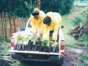 cameroon.shumas.eucalyptus.replacement.project. Transporting seedlings to final locations