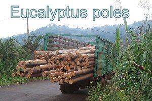 cameroon.shumas.eucalyptus.replacement. Eucalyptus poles