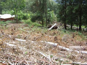 cameroon.shumas.eucalyptus.replacement.project. Felling eucalyptus trees