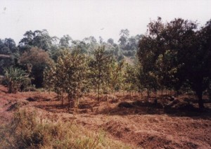 cameroon.shumas.eucaltptus.replacement.project.phase1. Pygum africanus plantation