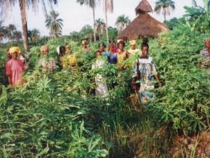 fioh.fund.sierra.leone.post.war.reconstruction. Cassava plantation at Yonibana 2000
