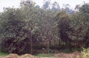 patia.cameroon. Pyjum Africana plantation near Kumbo