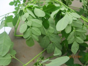 fioh. ghana.permaculture.ghana. Moringa seedlings