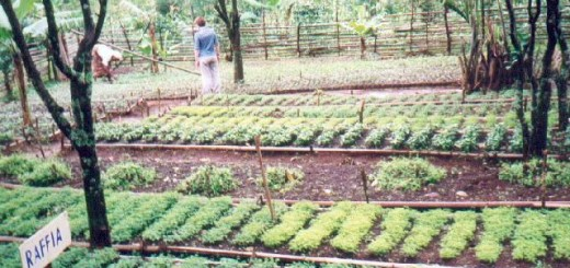 patia.cameroon. Pilot nursery at Kongir, Kumbo