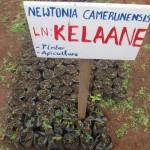 Newtonia camerunensis seedlings