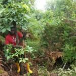 Cutting schefflera abyssinica